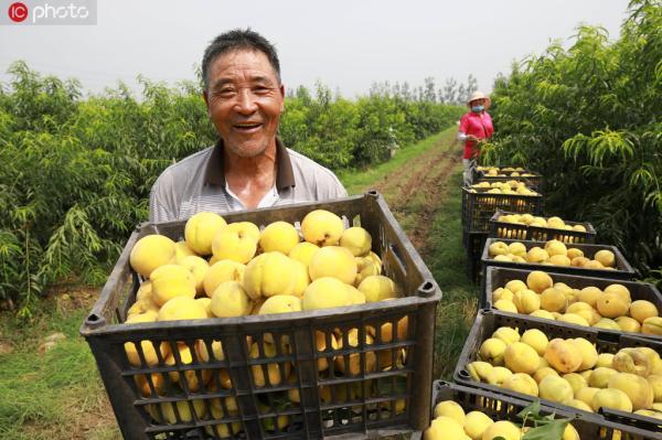 8月1日,江苏省连云港市赣榆区石桥镇黄桃基地果农在展示丰收的黄桃。