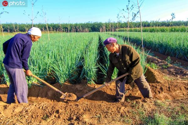 2019年9月21日,第二个中国农民丰收节前夕,河北邯郸鸡泽县秋收、秋管、秋晒三举并进。