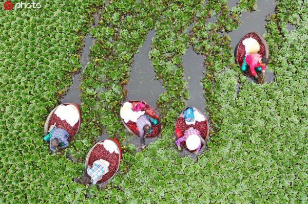 2019年8月25日,江苏省淮安市洪泽区岔河镇,农民正在采摘菱角。今年农民种植的菱角喜获丰收,亩产超过1500斤。近年来,该镇积极引导农民利用生态水域种植菱角水生蔬菜,带动当地农民走上新的致富路。